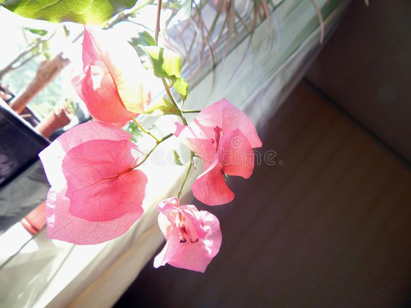Flowering bougainvillea on the window in the interior stock photo