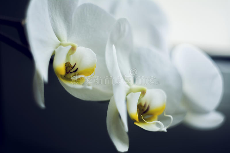 Flowering branch of beautiful white orchid flower with yellow center isolated close-up macro. Beautiful flower stock images