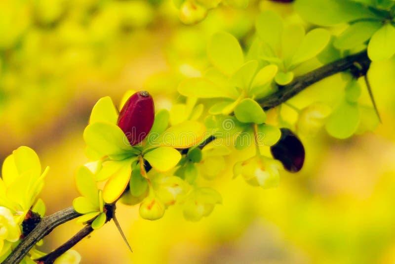 Flowering berberis. Flowering branch of berberis thunbergii aurea in spring royalty free stock image