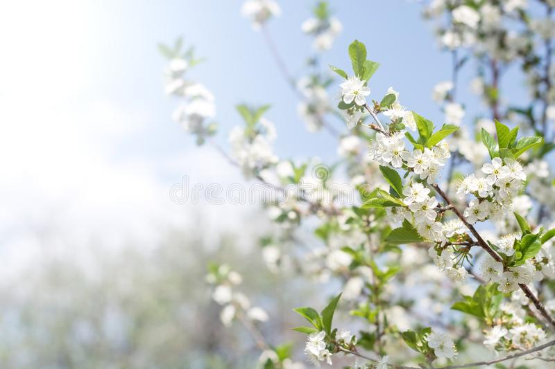 Flowering branch of cherry against the background of blue sky in the sunlight. Beautiful gentle spring background. Selective focus stock photo