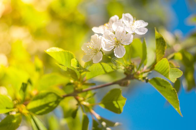 Flowering branch of a cherry tree against a blue sky. Spring background. Selective focus. royalty free stock image