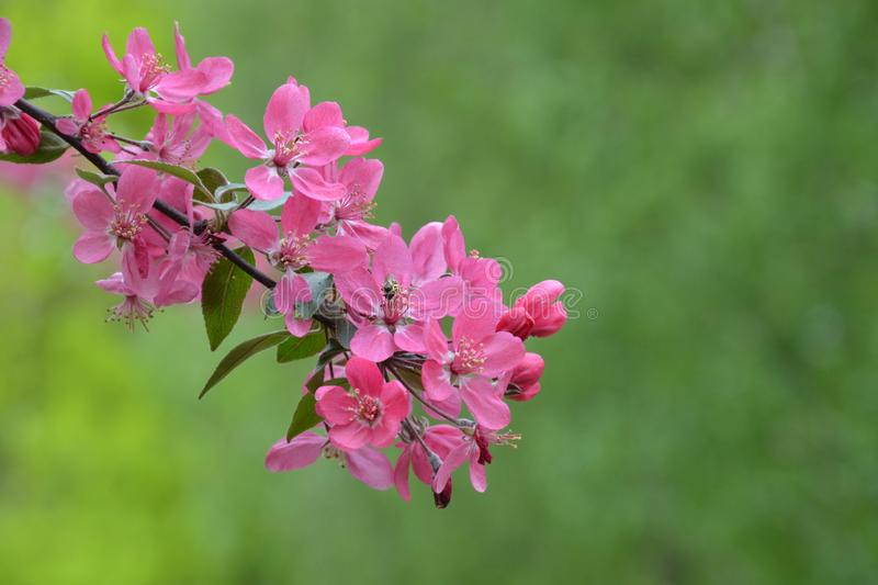 Flowering branch of the heavenly pink apple tree. Spring blossom orchard. Pink flowers on green background stock photo