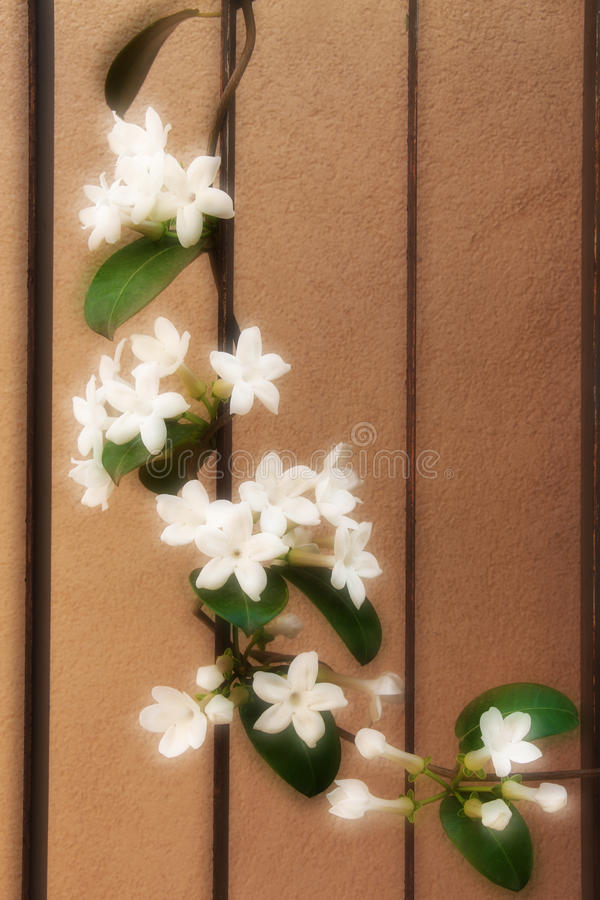 Flowering branch of a jasmine of madagascar royalty free stock photography