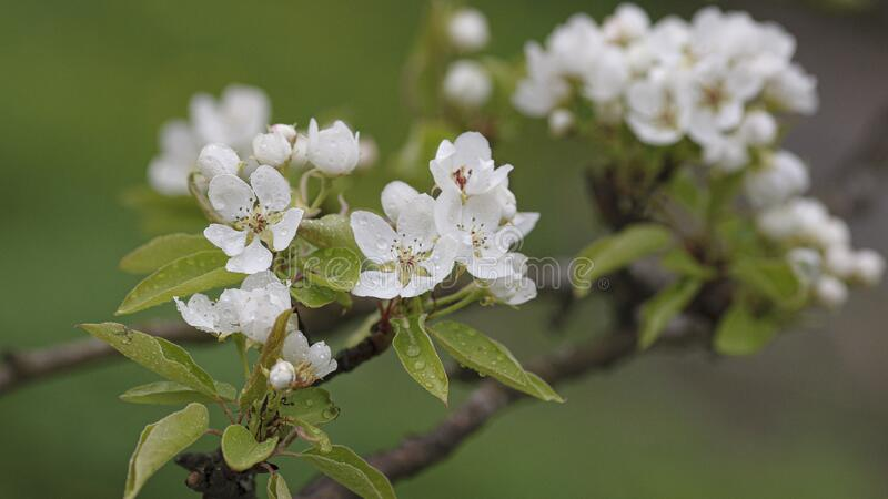 Flowering branch of pear, spring came royalty free stock photo
