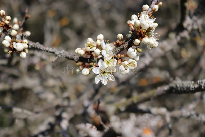 Flowering branch of Prunus spinosa or blackthorn or sloe.Prunus spinosa is a large deciduous shrub or small tree growing to 5 royalty free stock image