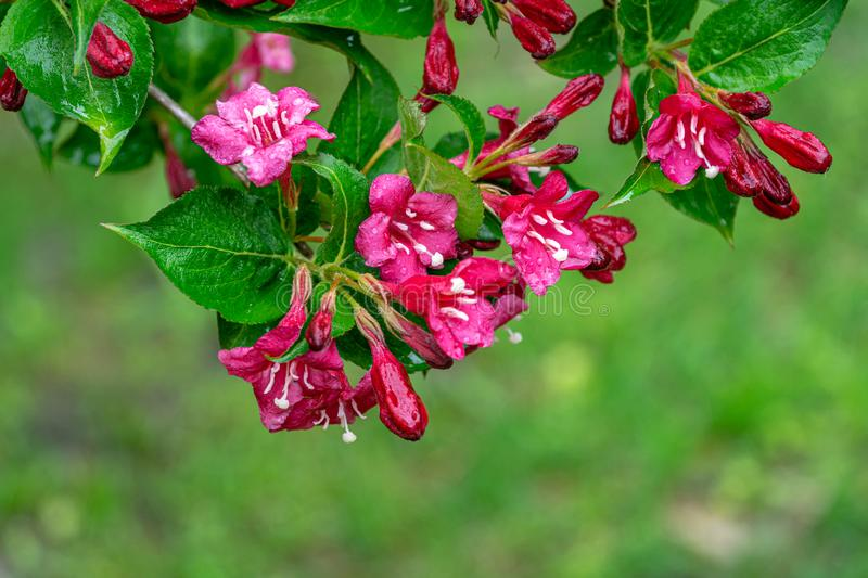 Flowering branch of wet Weigela Bristol Ruby. Selective focus and close-up beautiful bright pink flowers against the evergreen. In the ornamental garden. Nature royalty free stock image