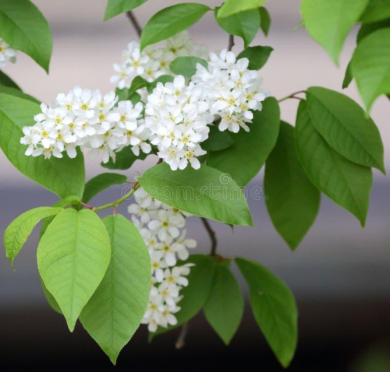 Flowering branch of white bird cherry. A flowering branch of white bird cherry stock photos