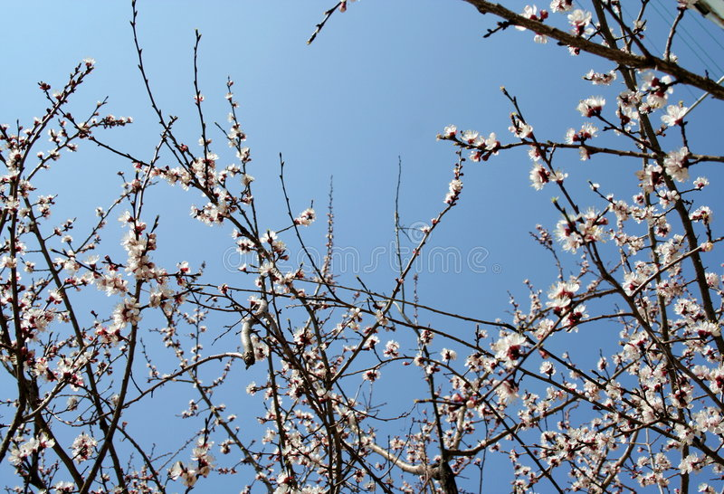 Download Flowering branches stock image. Image of cherry, white - 2313569