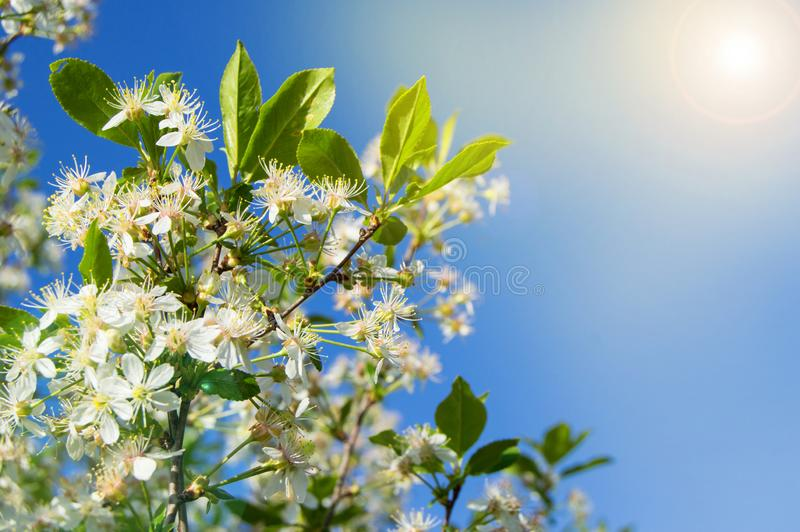 Flowering branches of Cherry on blue sky background at Sunny spring day, copy space stock photography