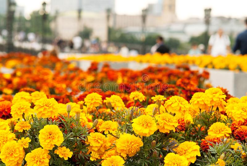 Flowering bright fluffy marigolds on flower beds in an everyday city royalty free stock photo