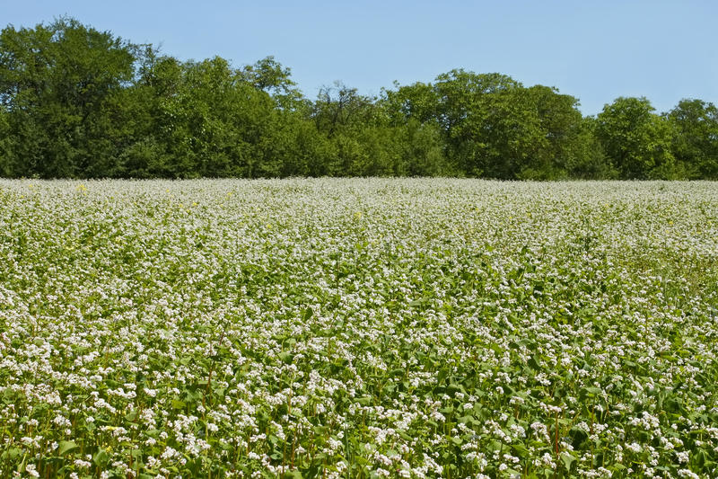 Flowering buckwheat field royalty free stock images