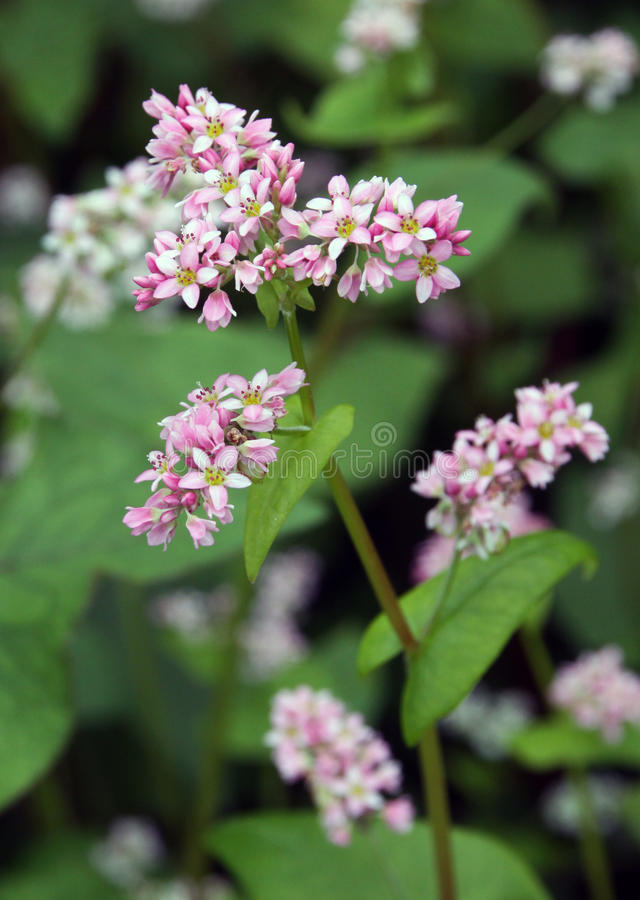Flowering buckwheat field with violet flowers stock images