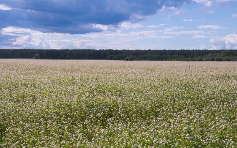 Flowering buckwheat in June. stock image