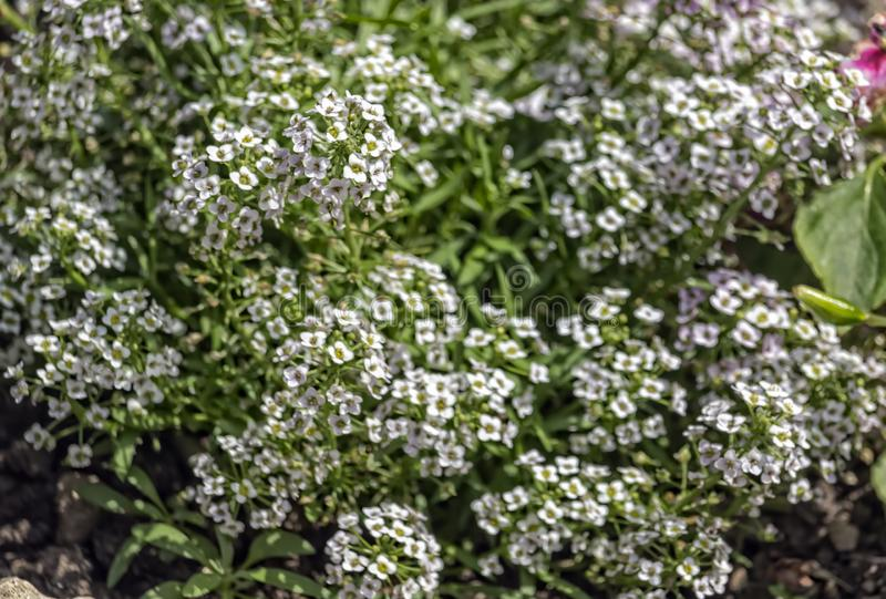 Flowering bush of flowers royalty free stock images