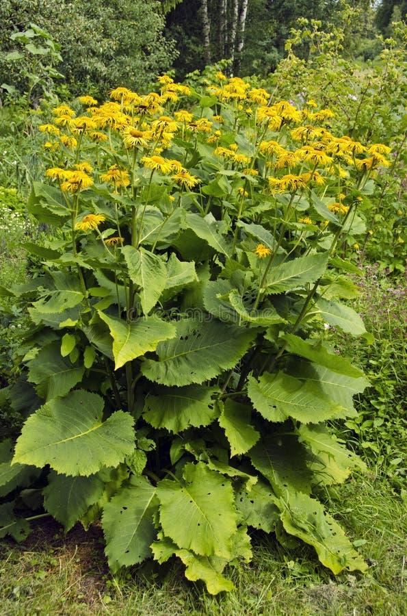 Flowering bush of Inula helenium royalty free stock photo