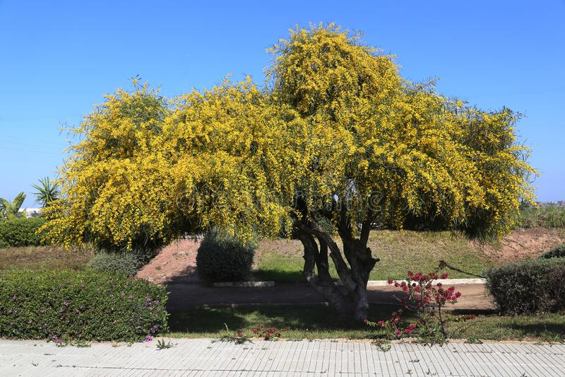 Flowering bush mimosa. Bright yellow flowering tree mimosa stock photo