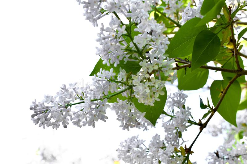 Brushes of white flowers. royalty free stock photography