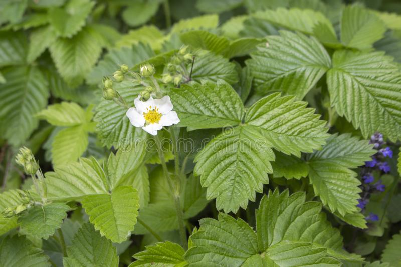 Flowering bush of wild strawberries with leaves. Wild strawberry blooms in spring. Strawberry leaves for brewing in tea. White flowers are yellow stamens royalty free stock image