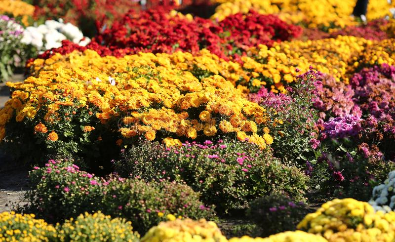 Flowering bushes chrysanthemums in the botanical garden and autumn royalty free stock image