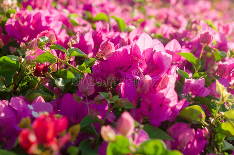 Flowering bushes with pink flowers stock photo image of magnolia download flowering bushes with pink flowers stock photo image of magnolia beautiful 89628572 mightylinksfo