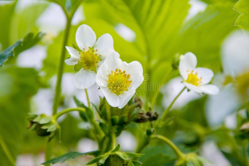 Flowering bushes of strawberry, white flowers, a patch of strawberries royalty free stock photography