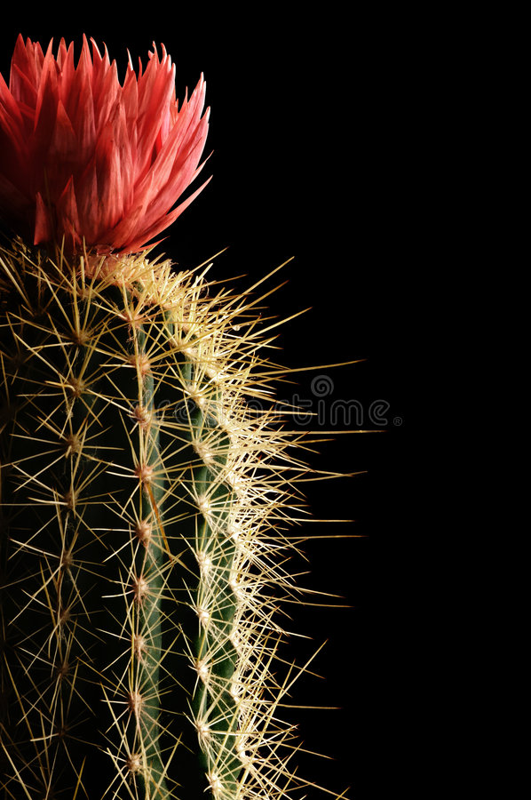 Free Flowering Cactus Royalty Free Stock Photography - 4114417