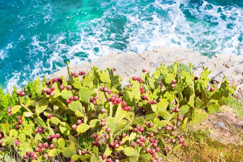 Flowering cactus growing on sea shore. Bali, Crete royalty free stock photos