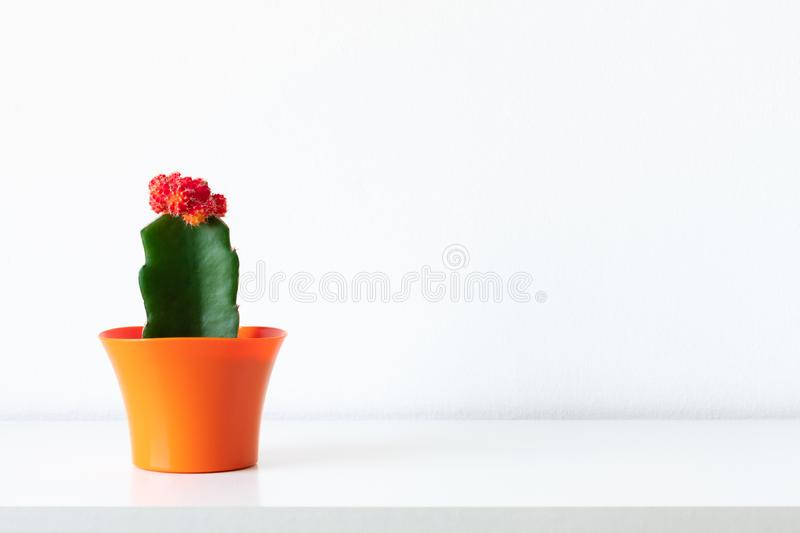 Flowering cactus plant in bright orange flower pot against white wall. House plant on white shelf with copy space. stock images