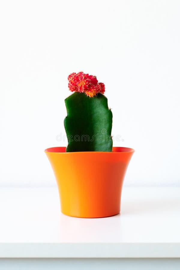 Flowering cactus plant in bright orange flower pot against white wall. House plant on white shelf with copy space. Flowering cactus plant in bright orange stock image