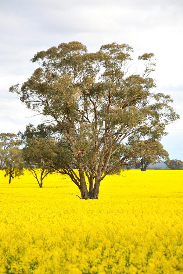 Free Flowering Canola Field With Trees Royalty Free Stock Photography - 18375667