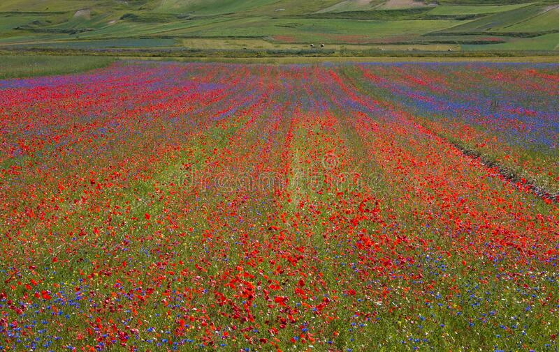Flowering of Castelluccio of Norcia, a town in the national park of the Sibillini mountains in Italy City destroyed by an earthqua stock photography