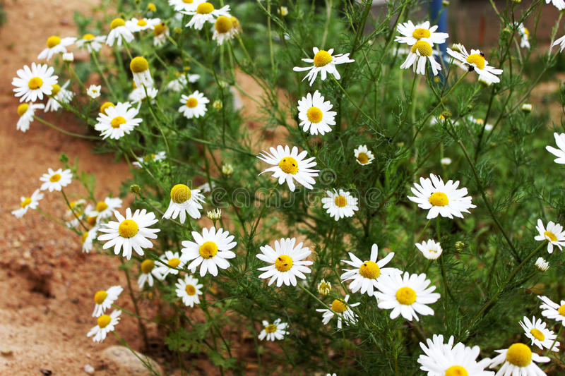 Flowering. Chamomile. Blooming chamomile field, Chamomile flowers on a meadow in summer, Selective focus royalty free stock images
