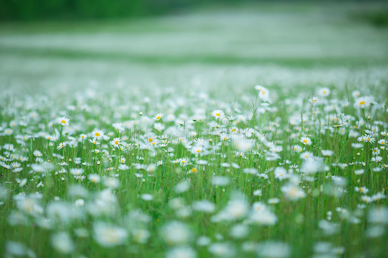 Flowering. Chamomile. Blooming chamomile field, Chamomile flowers. Natural herbal treatment. stock photo