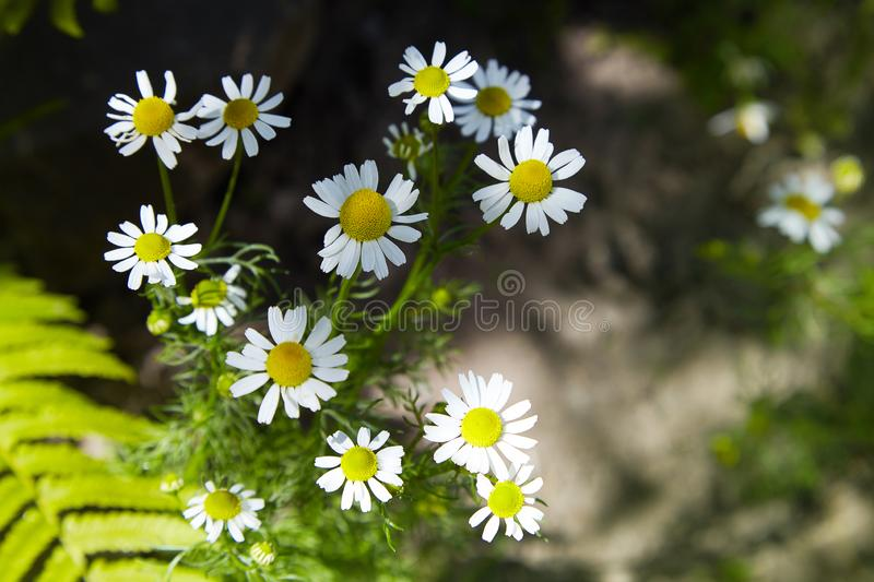 Flowering Chamomile. Blooming chamomile field, stock photography