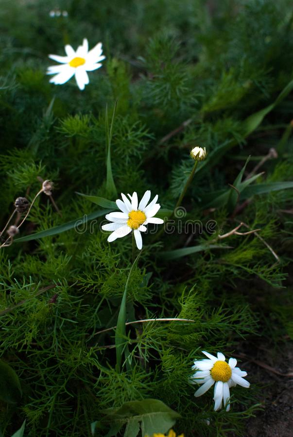 Flowering. Chamomile. Blooming chamomile field, Chamomile flowers on a meadow in summer, Selective focus stock images