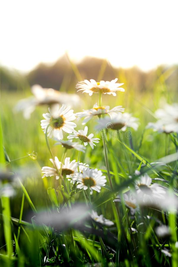 Flowering. Chamomile. Blooming chamomile field, Chamomile flowers on a meadow in summer, Selective focus stock photos