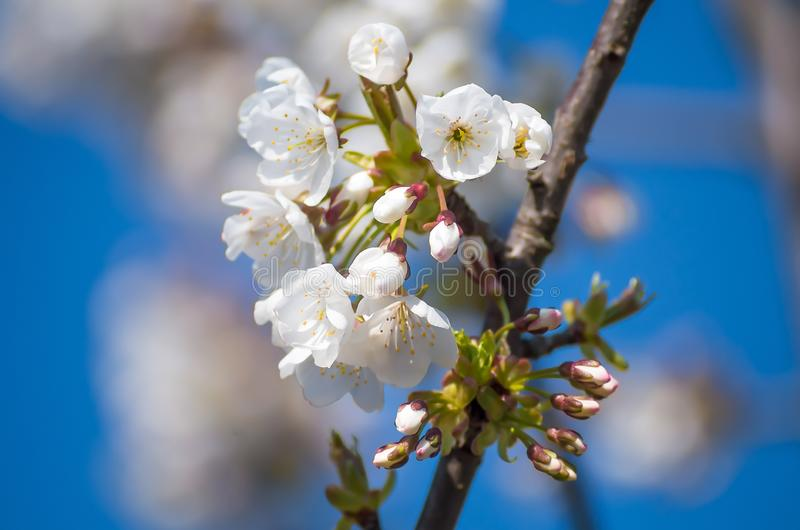 Flowering cherries in the spring. Flowers of cherry against the background of blue spring sky. White flowers blooming. stock image