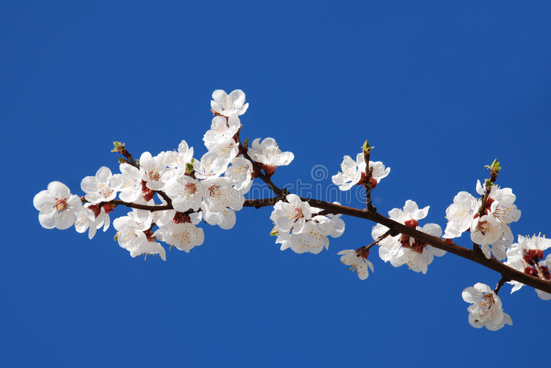 Flowering of cherry stock photo