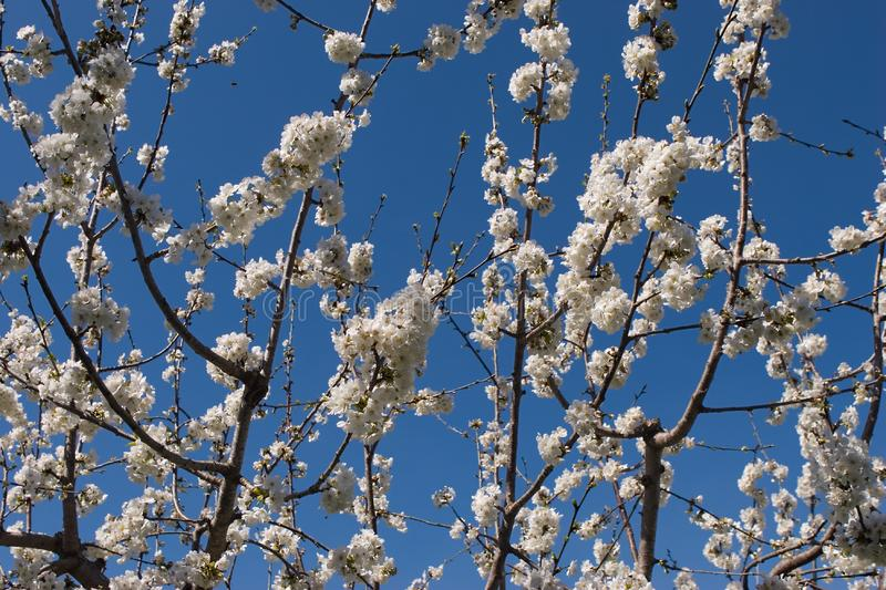 Download Flowering cherry stock image. Image of white, branchs - 5422183