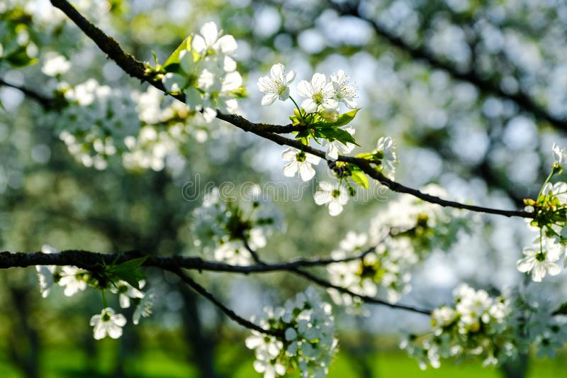 Cherry blossoms. Spring background royalty free stock image