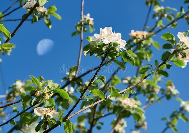 Flowering cherry against the sky stock photo