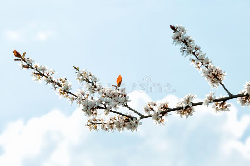 Flowering cherry branch against a sky. Flowering cherry branch against a blue sky royalty free stock image