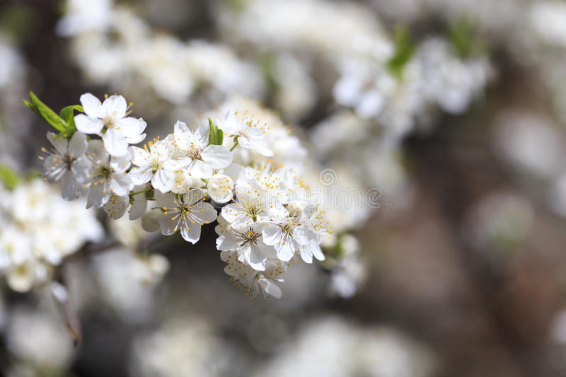 Flowering cherry flowers royalty free stock images