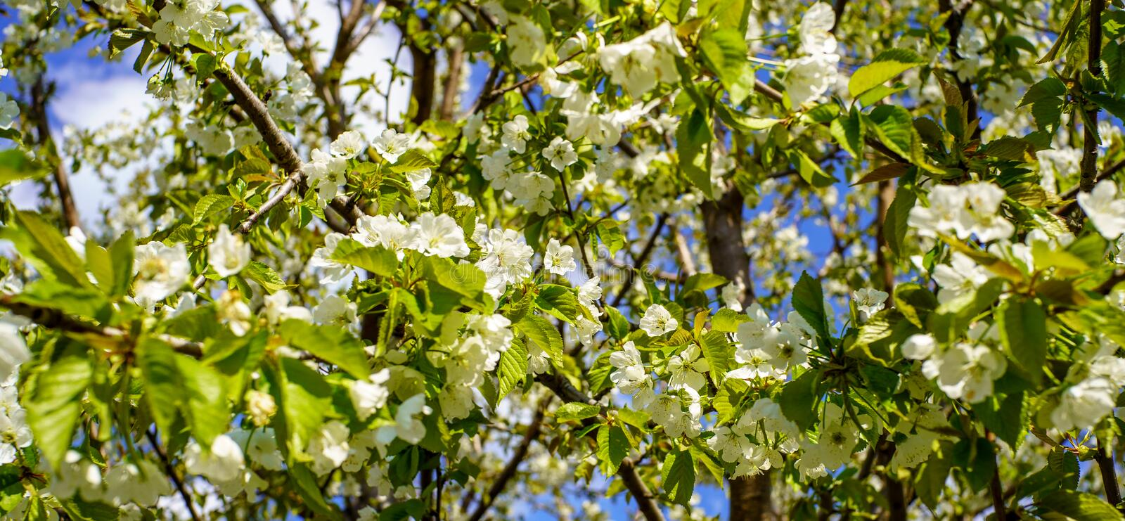 Flowering cherry tree with beautiful blossom white flowers and young green leaves against blue sky in the garden in sunshine day stock images