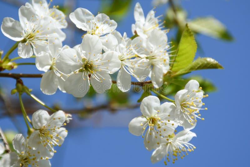 Flowering cherry tree stock image