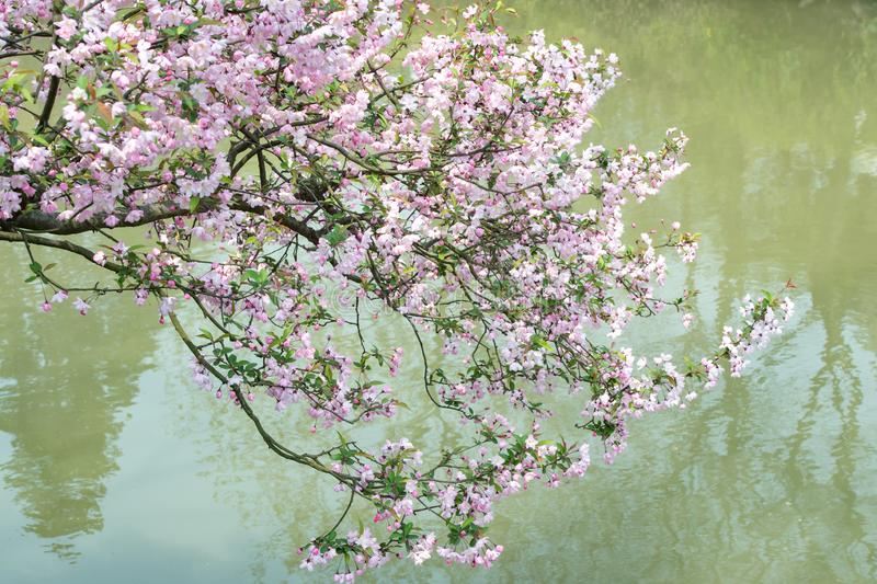 Beuatiful blooming cherry tree twig full of blossoms hanging over water of pond in spring stock photography