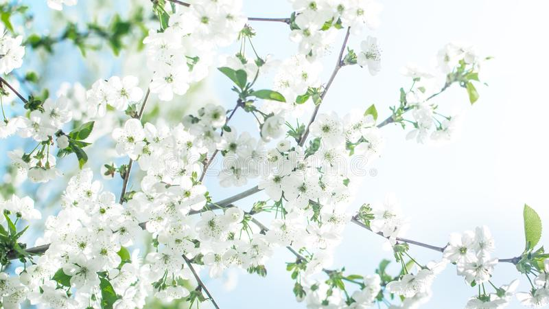 Flowering cherry tree on blue sky background at sunny day. Spring floral background. royalty free stock photography