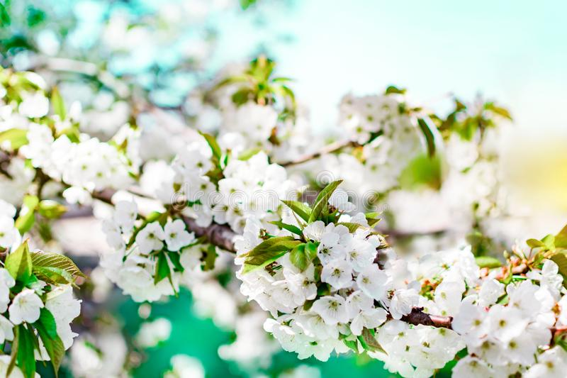 Flowering cherry tree branch on blue sky background at sunny day. Spring floral background with small white flowers. royalty free stock photo