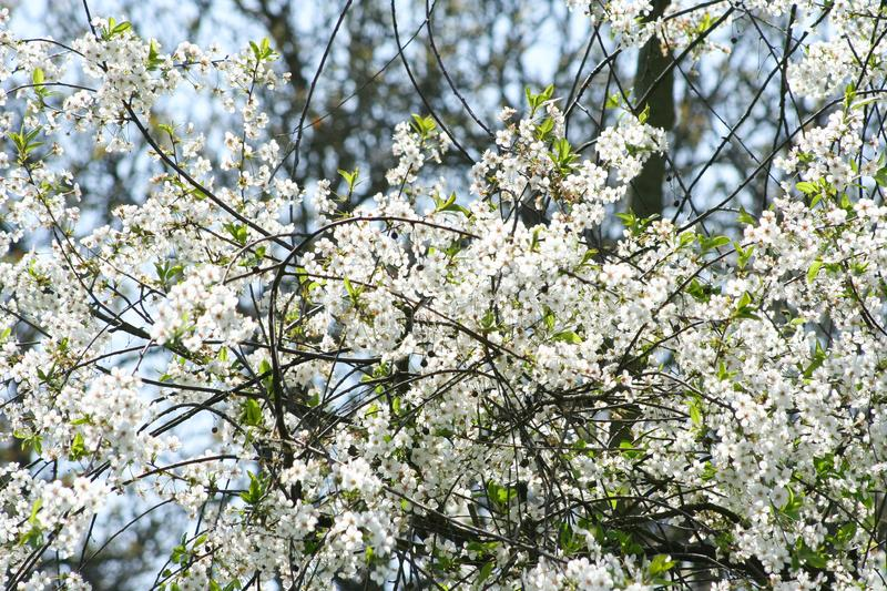 Flowering cherry tree. Closeup white beautiful cherry flowers royalty free stock photography
