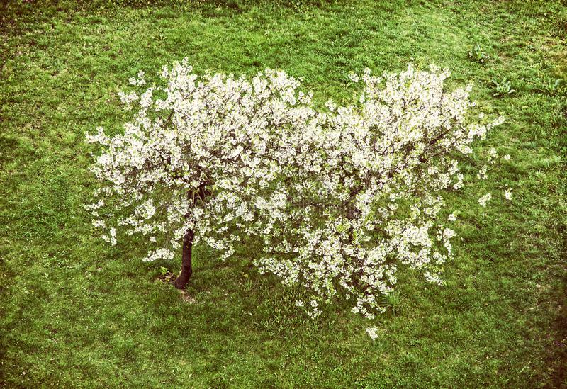 Flowering cherry tree and green grass, beauty filter stock photo